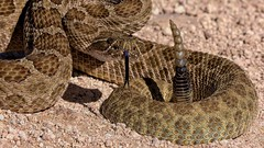Prairie Rattlesnake (Crotalus viridis), Sand Ranch, Chaves County, New Mexico, 07-10-2019.A28A8356-1-1-crop Edit (rctoutdoors) Tags: rattlesnake snakes reptiles venomous pitviper toxic herping herps rattler