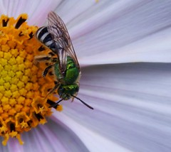 Cosmos and Green Sweat Bee (starmist1) Tags: greensweatbee insect pollinator flower cosmos roadshouldergarden garden flowergarden frontyard july summer partlycloudy warm macro