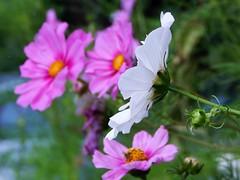 Cosmos (starmist1) Tags: roadshouldergarden flowergarden garden flower cosmos july summer partlycloudy warm frontyard maggiesgarden