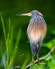 Tri-colored Heron (DonMiller_ToGo) Tags: birds herons tricoloredheron nature naturelovers d810