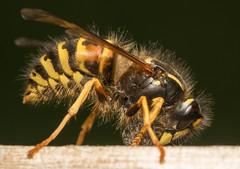 Common Wasp (Vespula vulgaris) (Dibbly Dobbler) Tags: common wasp vespula vulgaris sonya7rii 90mm
