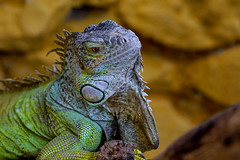 Green Iguana (@Katerina Log) Tags: iguana green attikazoopark katerinalog reptile natura nature naturallight wildlife wild sonyilce6500 fe70200mmf4goss closeup portrait bokeh depthoffield scales flickr