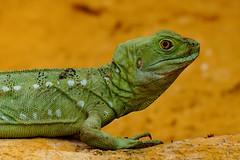 Green Basilisk (@Katerina Log) Tags: green reptile lizard wildlife wild nature natura naturallight attikazoopark sonyilce6500 fe70200mmf4goss katerinalog portrait depthoffield bokeh scales