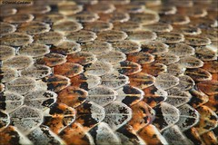 Northern Watersnake Scales (Daniel Cadieux) Tags: snake northernwatersnake macro side body scales reptile serpent patterns