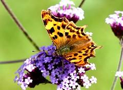 Comma (v fresh) 13.7.19 my gdn (ericy202) Tags: comma butterfly verbena bonariensis