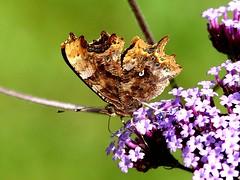 underside Comma 13.7.19 my gdn (ericy202) Tags: comma butterfly verbena bonariensis