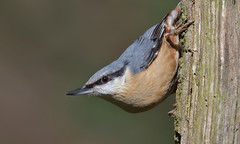Nuthatch (KHR Images) Tags: nuthatch eurasiannuthatch sittaeuropaea wild bird lackfordlakes suffolk eastanglia wildlife nature nikon d500 kevinrobson khrimages