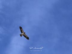 Águila calzada (Gallo Quirico) Tags: rapaz águlacalzada naturaleza nature eagle olympus aguila stylus1