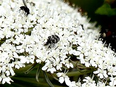 minute Beetle ? 13.7.19 (ericy202) Tags: minute beetle wild carrot flower carpet possiblyanthrenusfuscus