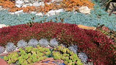 190615 183 Corona del Mar, Sherman Gardens Echeveria lilacina perhaps, Crassula nudicaulis var platyphylla 'Burgundy', Senecio serpens, x Sedeveria 'Letizia', Sedum adolphii 'Firestorm'