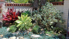 190615 189 Corona del Mar, Sherman Gardens - Succulent Garden, Agave attenuata 'Variegata', Aloe polyphylla, Crassula arborescens, Senecio serpens Blue Chalk Sticks