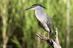 Striated Heron - Kruger National Park (BenSMontgomery) Tags: striated heron kruger national park green backed lake panic night bird hide wildlife south africa
