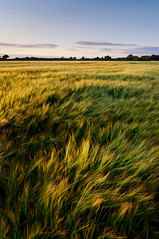 Land in Motion (A.Leighton Photography) Tags: field barley farmland farming rural countryside landscape sunset uk england yorkshire