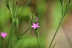 Deptford pink (marensr) Tags: deptfordpink nonnative invasive species plant herb flower pink dianthus armeria