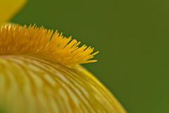 Yellow Iris Detail (pstenzel71) Tags: blumen natur pflanzen iris darktable flower bokeh