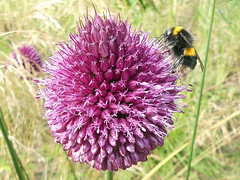 Allium and bumblebee (Charos Pix) Tags: allium whitetailedbumblebee alliumsphaerocephalon