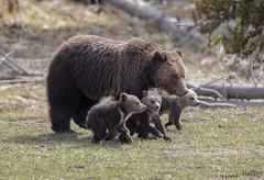 The Protector (Hank Halsey) Tags: hmk42071cr2 grizzlybear grizzlycubs coy cubsoftheyear yellowstonenationalpark hankhalseyphotography