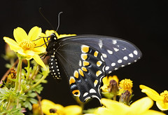 _A995330 (mbisgrove) Tags: swallow yellow macro sigma insect a99ii a99m2 butterfly flower swallowtail black sony wings 150mmexdgapohsm sharp tail