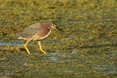 Green Heron - Jul-13-2019 (18-1) (JPatR) Tags: 2019 burnidge burnidgeforestpreserve illinois july summer bird greenheron nature wildlife