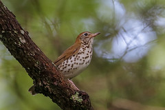 Wood Thrush (Alan Gutsell) Tags: woodthrush wood thrush eastern bird birds wildlife nature kentucky mammothcaves naturephoto migration summer breeding songbird forest hylocichlamustelina alan road trip canon camera