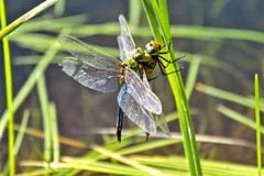 Common green darners (Monkeystyle3000) Tags: common green darner dragonfly mating insects