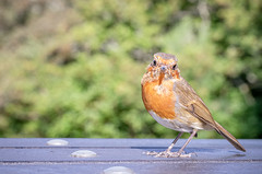 Cheeky Chap (A Journey With A New Camera) Tags: robin robinredbreast bird feathers uk britishbirds