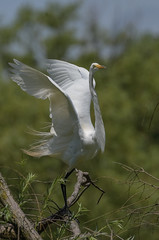 Great Egret launching. (Estrada77) Tags: egrets greategret inflight bigbirds birds birding wildlife summer2019 july2019 outdoors nikon nikond500200500mm nature animals illinois mchenrycounty
