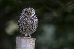 Little Owl (Bill Richmond) Tags: littleowl athenenoctua strigiformes birdsofprey durham nikond500 nikon500f4