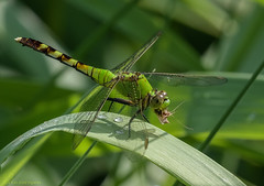 Eastern Pondhawk with prey (16) (Estrada77) Tags: dragonfly insects prey wildlife summer2019 july2019 outdoors nikon nikond500200500mm nature animals illinois kanecounty