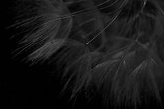 Dandelion #2 (majamacanovic) Tags: dandelion macro blackandwhite blackwhite bw monochromatic art