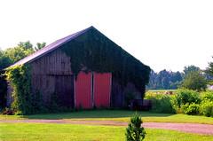 Sun, Ivy & Wood (stephen.michaels) Tags: canoneos55 canonef28135mmf3556isusm barn agriculture farm trees grass kodakektar100