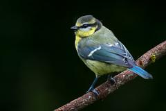 Juvenile Blue Tit (Maldo-UK) Tags: juvenile blue tit