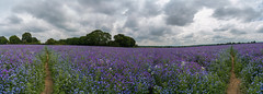 Sea of Echium (jactoll) Tags: middletown studley warwickshire summer echium flowers crop field panorama landscape sony a7iii 1635mmf4 jactoll