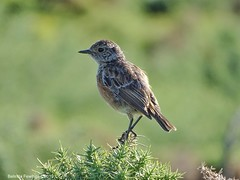 Juvenile Stonechat (Belinda Fewings (5 million views. Thank You)) Tags: nature hengistburyhead sonydschx400v belindafewings nationalgeographicwildlife bbcspringwatch stonechat
