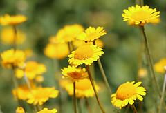 Marguerite daisy (bamp88) Tags: margueritedaisy daisy yellow flower dof bokeh canoneos70d canonef100mmf28lmacroisusmcanon ef100mm f28l macro is usmphipps conservatory pittsburgh pa