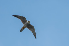 Hobby (Tim Melling) Tags: falco subbuteo hobby falcon thorne moors south yorkshire timmelling