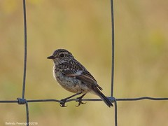 Juvenile Stonechat (Belinda Fewings (5 million views. Thank You)) Tags: bokeh juvenilestonechat outside sonydschx400v belindafewings bbcspringwatch nationalgeographicwildlife bird stonechat