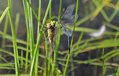 Common green darners (Monkeystyle3000) Tags: common green darners dragonfly mating insects