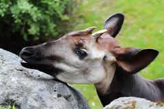 Okapi (Sven Bonorden) Tags: okapi giraffe zoo wuppertal animal tier kopf head