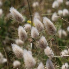 Wild Grasses, L'Ouziere (timothyhart) Tags: jersey channelislands uk greatbritain island sea ocean leisure holiday sunshineisland july 2019 summer