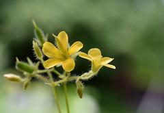 Wood Sorrel (jmunt) Tags: wildflower flower woodsorrel oxalis