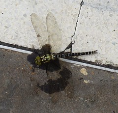 Cirencester ... dragonfly, deceased. (bazzadarambler) Tags: cirencester gloucestershire cotswolds july