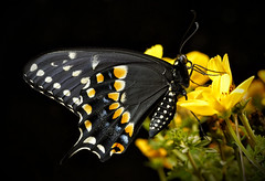 _A995886 (mbisgrove) Tags: 150mmexdgapohsm sigma bisgrove macro a99ii swallowtail sharp a99m2 black yellow wing butterfly flower insect sony wings tail