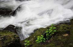 Cedar Creek More Joy (fotostevia) Tags: cedarcreek plants woodlandwa shrubbery stream water waterfalls