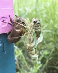 Cicada Emerging_2 (Thomas Muir) Tags: nymph apiary bug insect wings ohio woodcounty wildlife nature 17yearlocust perrysburg shed alien transformation mythology exoskeleton exuviae