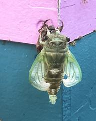 Cicada Emerging_1 (Thomas Muir) Tags: nymph apiary bug insect wings ohio woodcounty wildlife nature 17yearlocust perrysburg shed alien transformation mythology exoskeleton exuviae