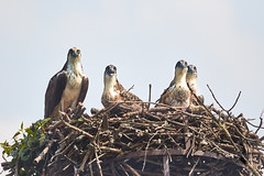 Osprey (Pandion haliaetus) 5606.jpg (Janet M. Heintz / Photography & Digital Art) Tags: avian summer allegheny june forest pennsylvania nest national nestlings aves adult reservoir betterbirdphotography