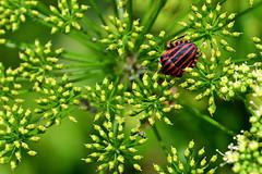 Caccia all'intruso (luporosso) Tags: natura nature naturaleza naturalmente nikon nikond500 nikonitalia imdifferent rossolupo macro closeup insect insetto bugs buz cimice