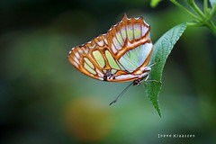 Malachite (Ineke Klaassen) Tags: malachite malachietvlinder malachitfalter mangrove vlinder vlinders butterfly butterflies sony sonya6000 sonyimages sonyalpha6000 sonyilce6000 nature natuurfotografie naturephotography naturaleza insect insects color colour malachitebutterfly 2550fav 50fav 50favs 50100fav 50faves 5075fav 300views
