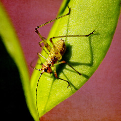 the shadow escapes from the body (1crzqbn) Tags: macro cricket inmygarden nature sunlight shadows outside 1crzqbn